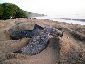leatherback turtle, Melting Pot Travel, Trinidad