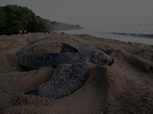 Leatherback turtle on beach Tobago