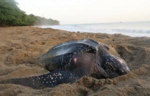 Leatherback turtle laying eggs Tobago