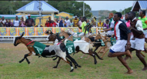 Joceys and their goats racing at the Goat and Crab Race Festival, every Easter, Tobago
