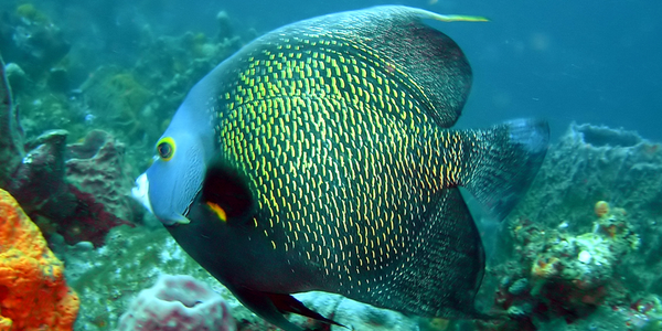 A French Angelfish. A common sight when you dive Tobago