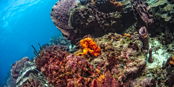 Barrel, elephant ear and tube sponges galore, in Bookends when you dive Tobago