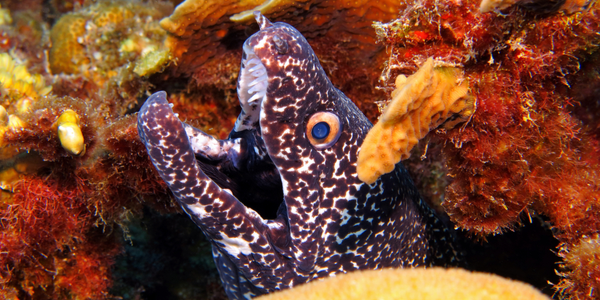 When you dive Tobago at Store Bay you are likely to come across a Moray Eel
