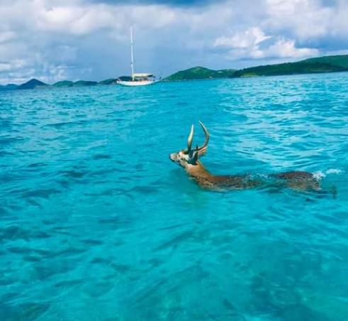 A deer swimming between island in the USVI