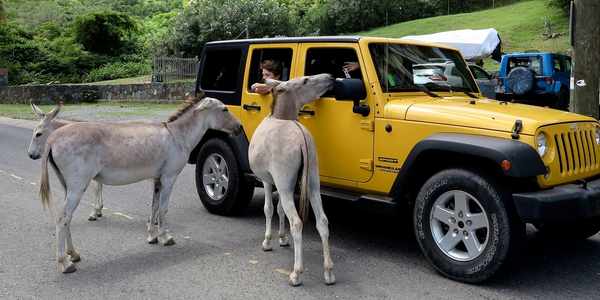Free range donkeys standing on driver's side of yellow jeep